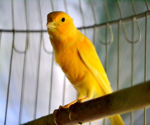 bird, cage, and canary image