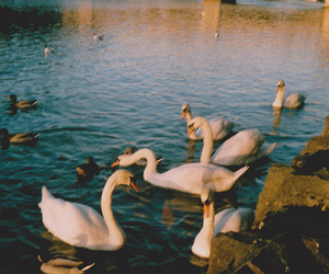 Swan, water, and bird image