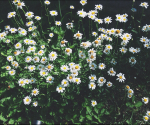 daisy, flower, and hipster image