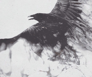 bird, crow, and raven image