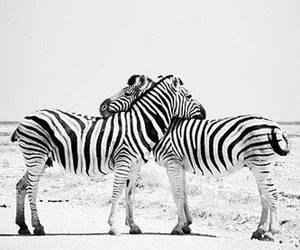 zebra, animal, and love image