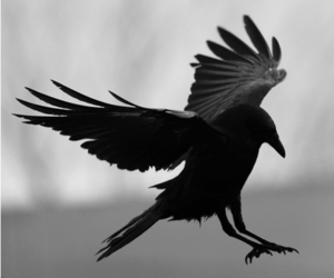 raven, crow, and dark image