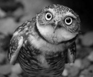 black and white, owl, and animal image