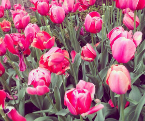 field, tulips, and flowers image