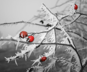 branch, red, and snow image