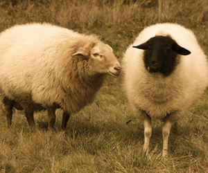 animal and sheep image