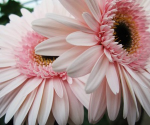 flower, pink, and gerbera daisy image