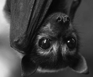 bat, animal, and black image