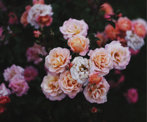 roses and flower image