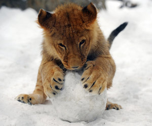 baby lion and snow image