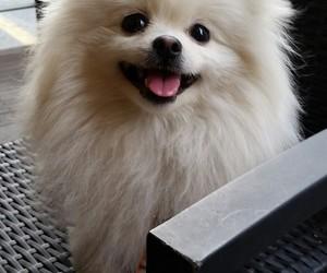 dog, POM, and pomerianian image