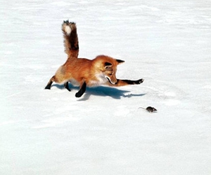 fox, mouse, and snow image
