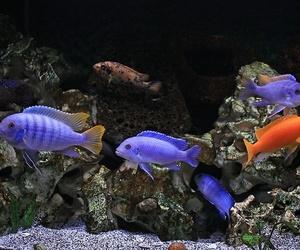 aquarium, fish, and cichlid image