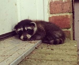 cute, raccoon, and animal image