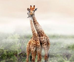 giraffe, nature, and animal image