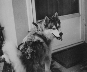 dog, black and white, and husky image