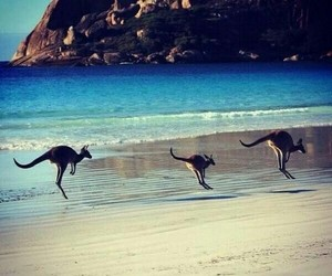 kangaroo, australia, and beach image
