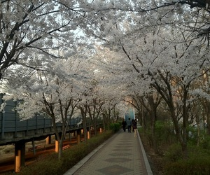 cherry blossoms, seoul, and south koreas image