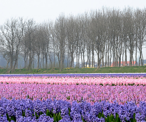 flowers, colours, and netherlands image