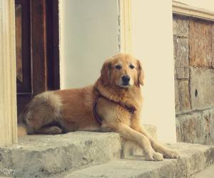 beautiful, dog, and golden retriever image