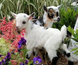 adorable, goats, and lovely image
