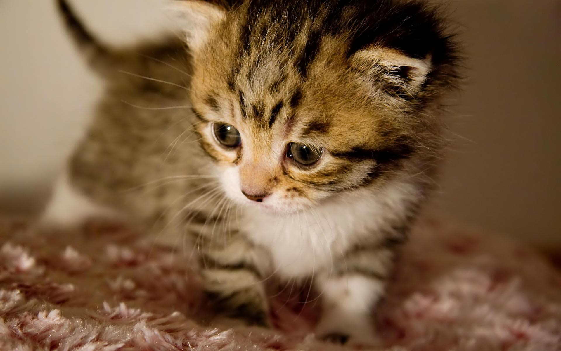 Desktop Wallpaper · Gallery · Animals · Cute baby kitten