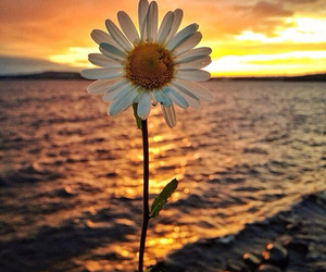 flowers, sunset, and daisy image