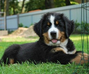 dog, fluffy, and puppy image