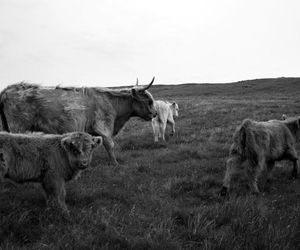scotland and highland cattle image