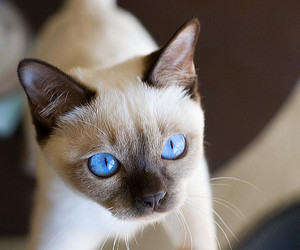 blue, eyes, and kitten image