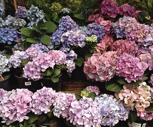 colour, flowers, and hydrangeas image