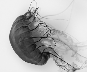 black&white, cool, and jelly fish image