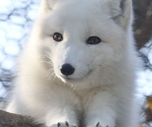 fox and white image