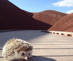 hedgehog and travel image