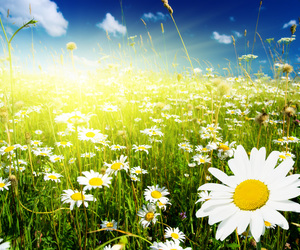 daisies, spring, and nature image
