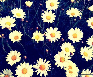 daisy, flowers, and background image