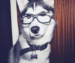 dog, husky, and glasses image