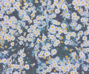 flowers, daisy, and wallpaper image