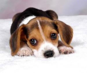 dog, puppy, and beagle image
