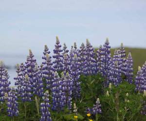 nature, photography, and lupine image