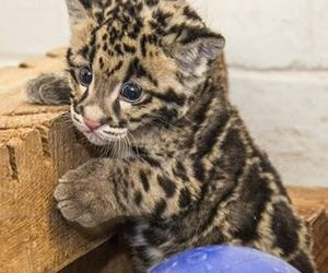 big cats, cute animals, and clouded leopard cub image