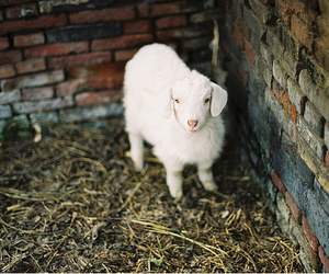 animal, photography, and sheep image