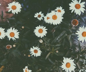 daisy, flowers, and indie image