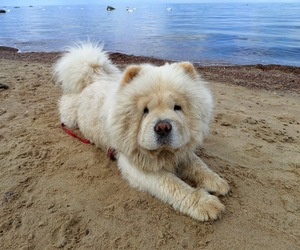 beach, summer, and chow chow image