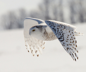 owl, white, and snow image