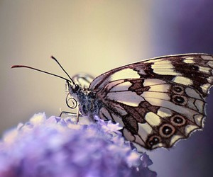 butterfly, lavender, and flowers image