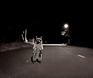 night and racoon image