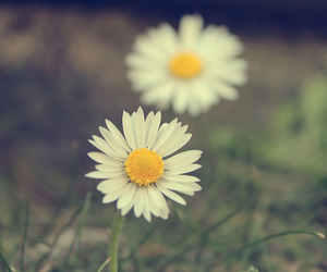 daisy, flower, and girly image