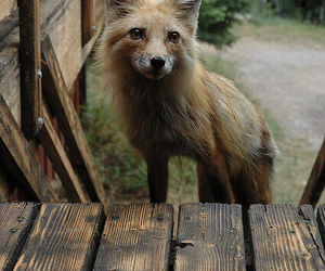 fox, animal, and black and white image