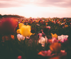 flowers, colors, and tulips image